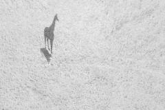 """Big Shadow"" 2. Platz in der Kategorie ""Wildlife"" © Thomas Vijayan"